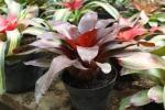 Bromelia merah